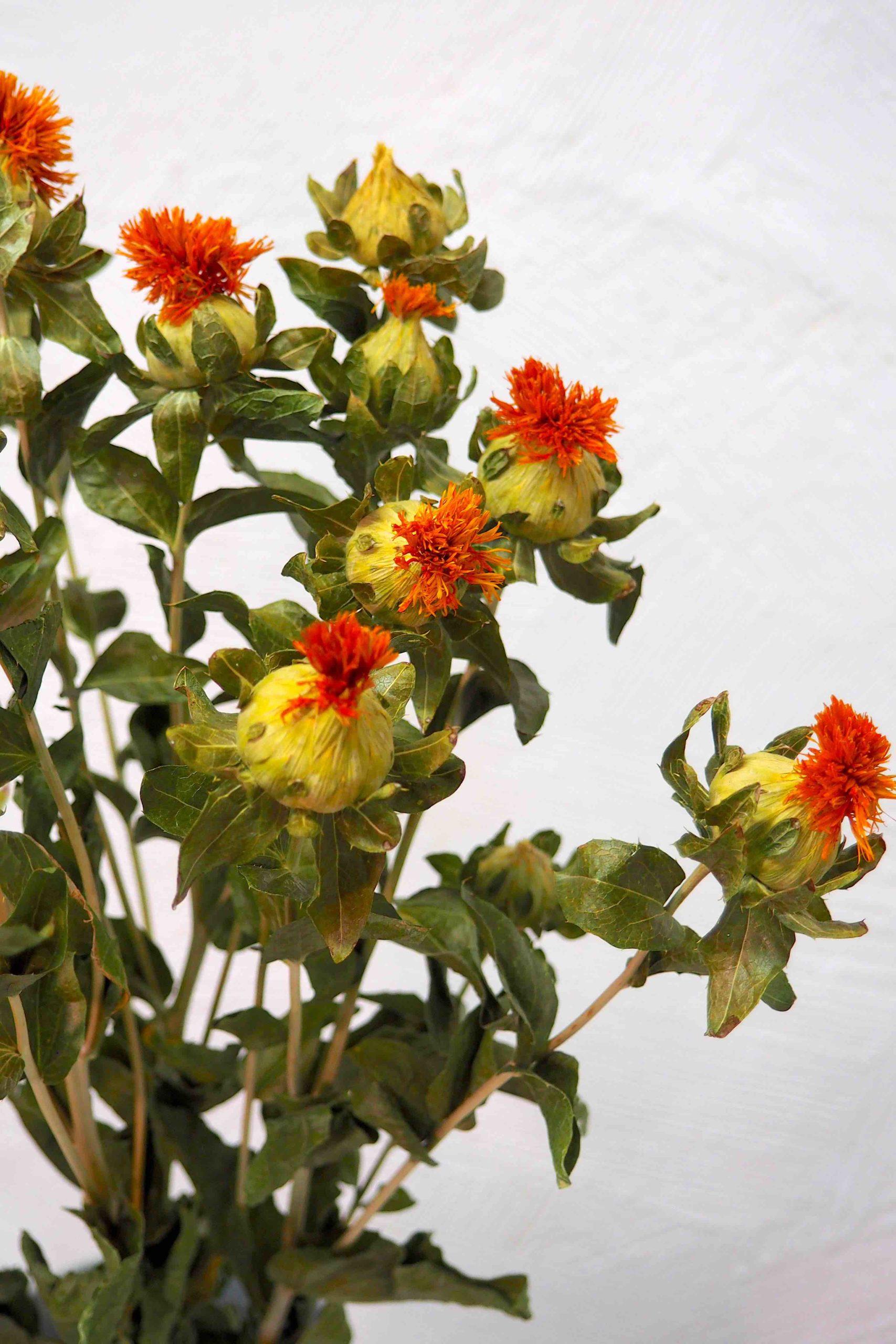 fleur séchée de carthamus en vente